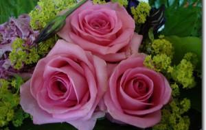 Rosenbilder Blumenbilder